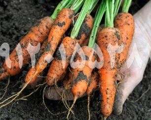 فروش هویج عمده صادراتی