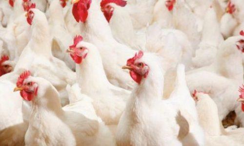 انجمن صنفی تولید کنندگان مرغ گوشتی خراسان رضوی