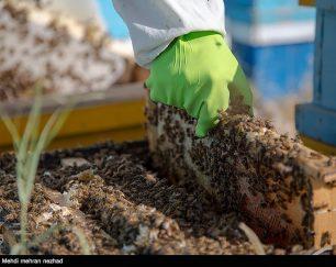 زنبورداری پیشگامان البرز